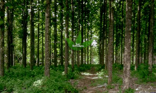 Pohon_Jati_Solomon_Kultur