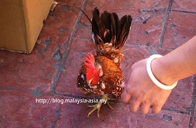 Ayam Serama Sabah