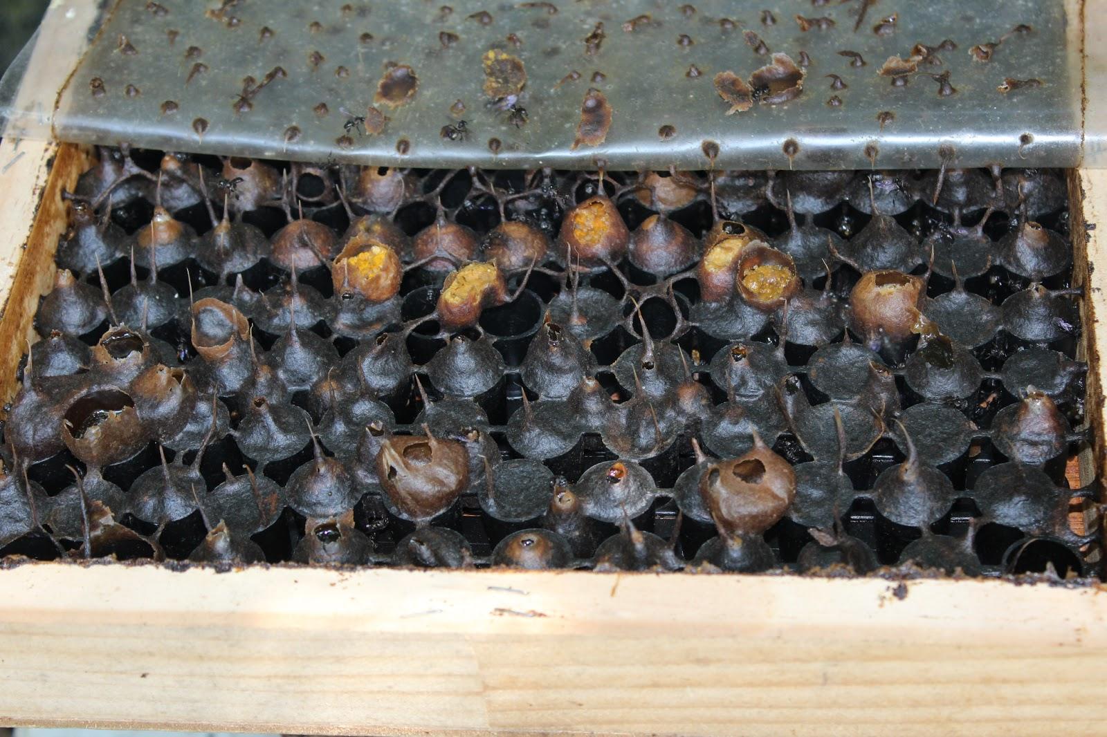 Madu lebah jati lawatan ke giant b farm