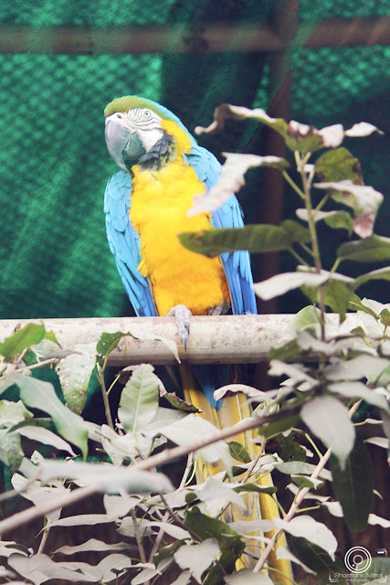 Blue & Yellow Macaw By Shashank Mittal Photography, Blue & Yellow Macaw, Shashank Mittal Photography, Shashank Mittal, Photography, Shashank, Mittal, Photography, bird, african parrot, rio parrot