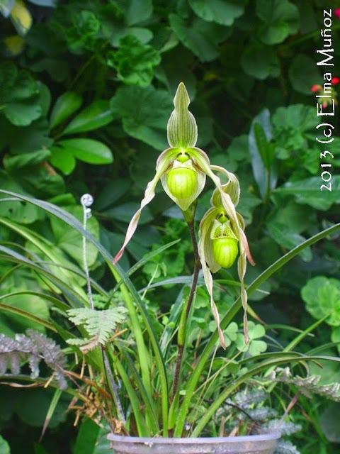 Flor de Phragmipedium pearcei