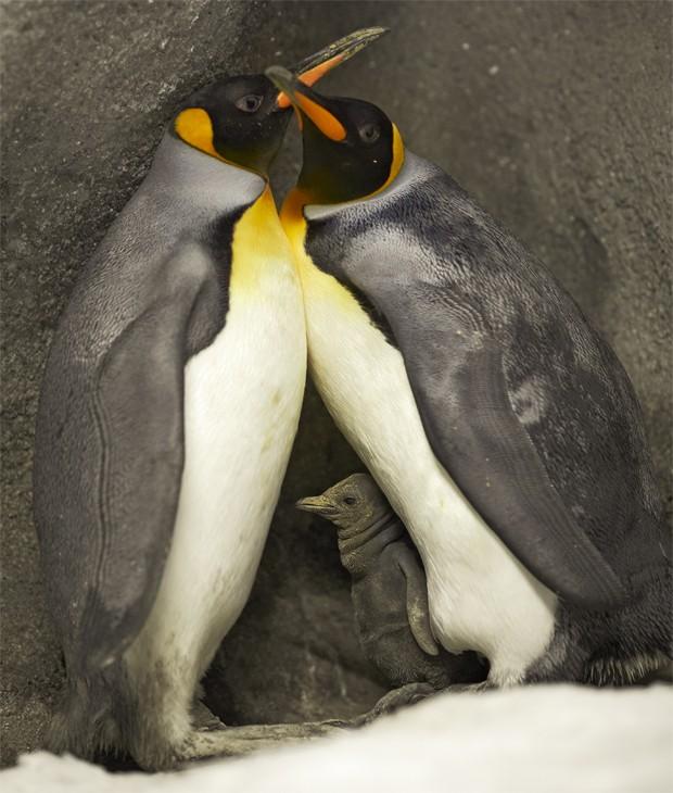 Casal de pinguins-imperadores gays com filhote 'adotado' em zoológico na Dinamarca (Foto: Divulgação/Ard Joungsma/Zoológico Odense)