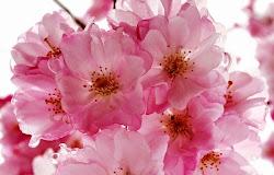 Download Gambar Bunga Sakura