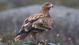 Águila imperial - Doñana