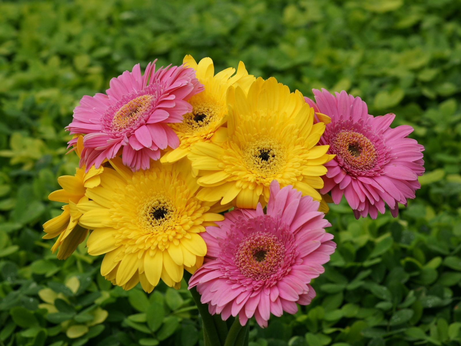 Different beautiful flower wallpapers background wallpapers pink and yellow gerbera izmirmasajfo