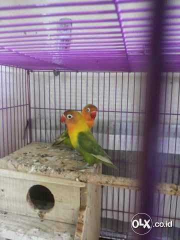 jual love bird sepasang pasjo mata hitam burung 9