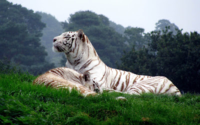 White Tiger Wallpapers 02