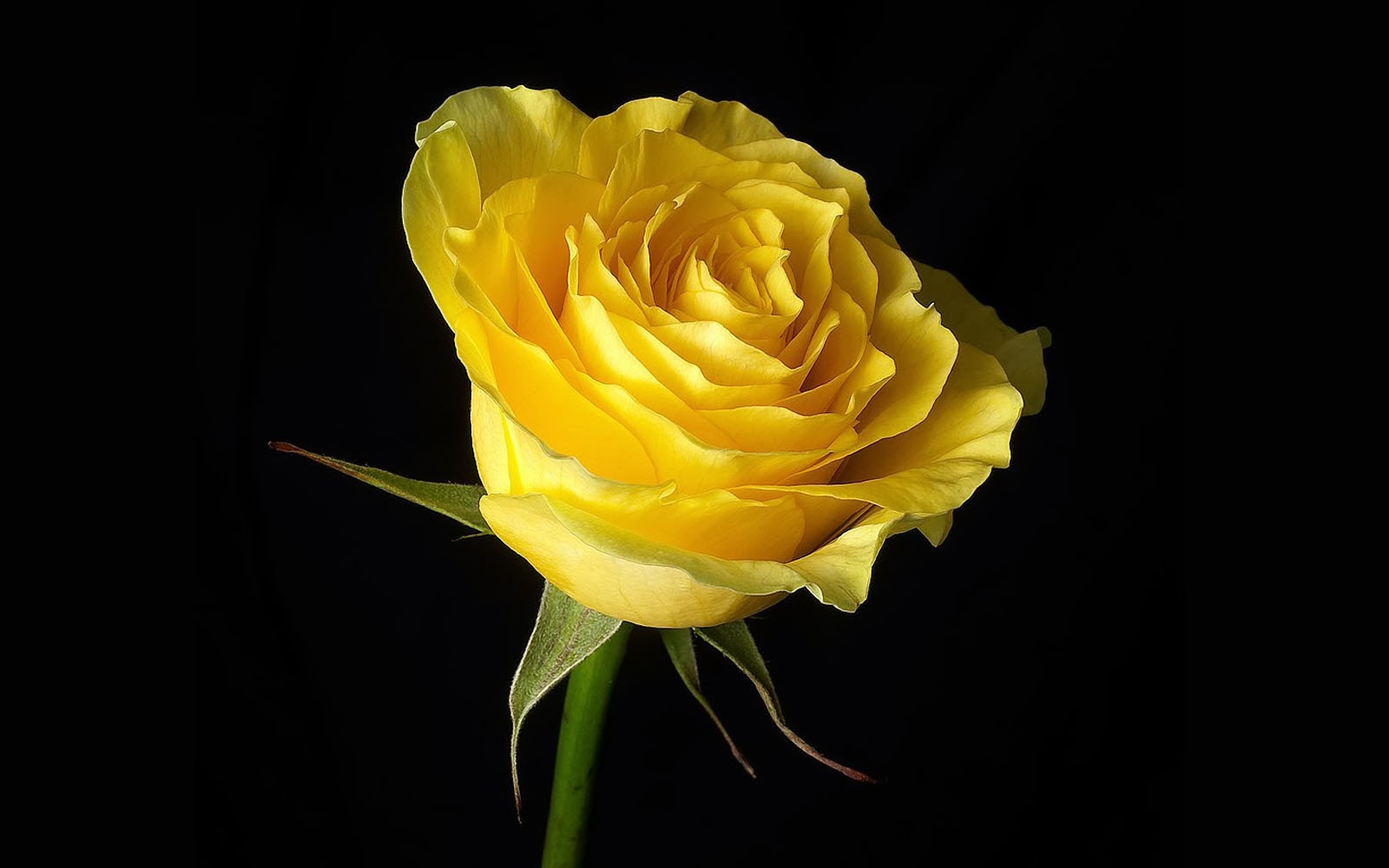 Yellow Rose Wallpapers 252812529