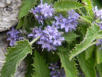 Campanula elatinoides Moretti (Campanula dell'insubria)