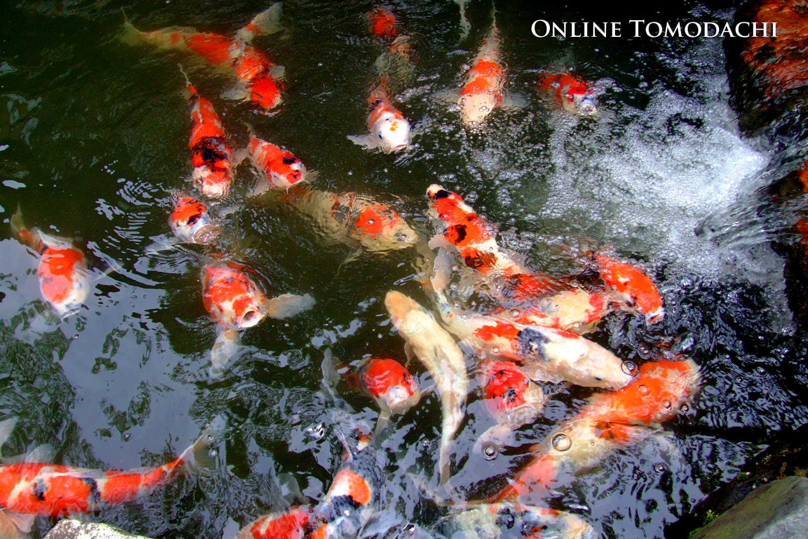 Online tomodachi japanese koi for Koi fish culture