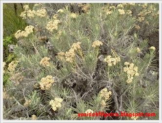 bunga-edelweis