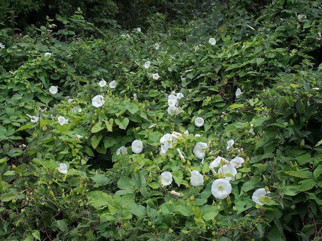 Bank of convolvulus in flower