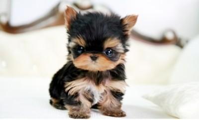 Teenie puppy