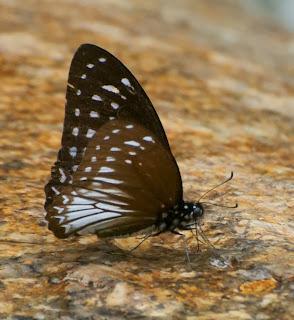 Common Mime (Papilio clytia f. clytia)