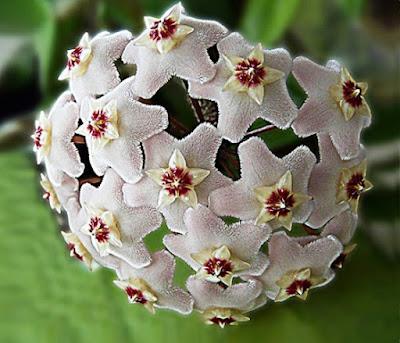 Bunga Tercantik di Dunia-Hoya Carnosa-Putih