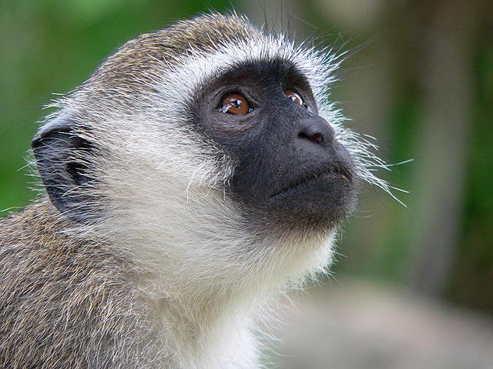 Tutto sugli animali scimmia verde green monkey for Piccole piantagioni