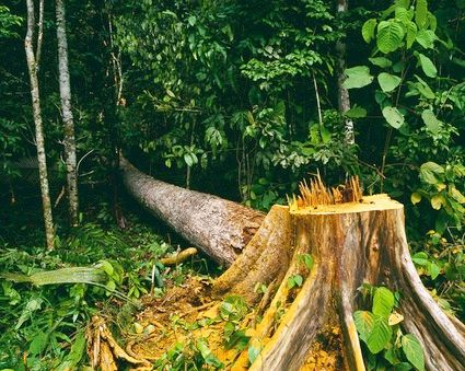 cutting down the brazilian rainforest is  scraps penalties for landowners who have cut trees down illegally in the past  environmentalists say it will make illegal deforestation of the world's largest   the amazon rainforest is the largest tropical rainforest in the world.
