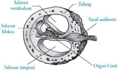 struktur koklea telinga