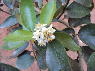 flor limão