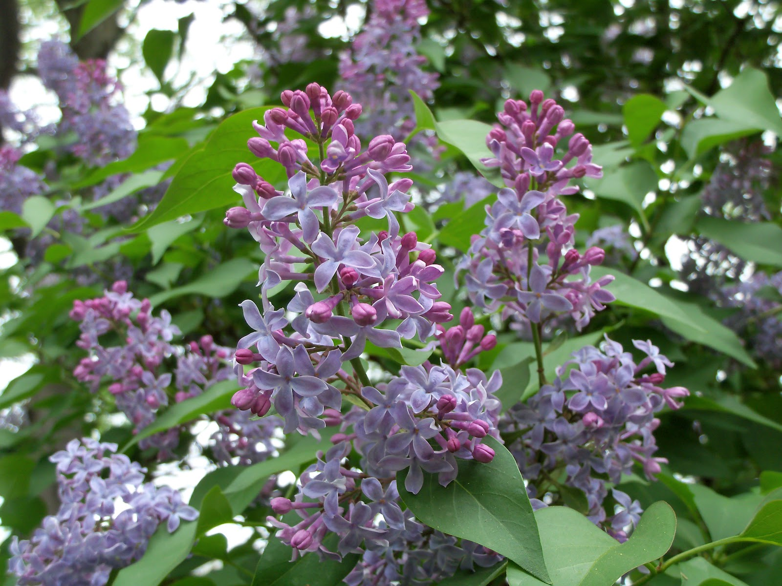 Old fashioned lilacs are a wonderful addition to any garden and i