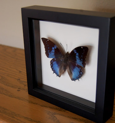 mounted_butterfly