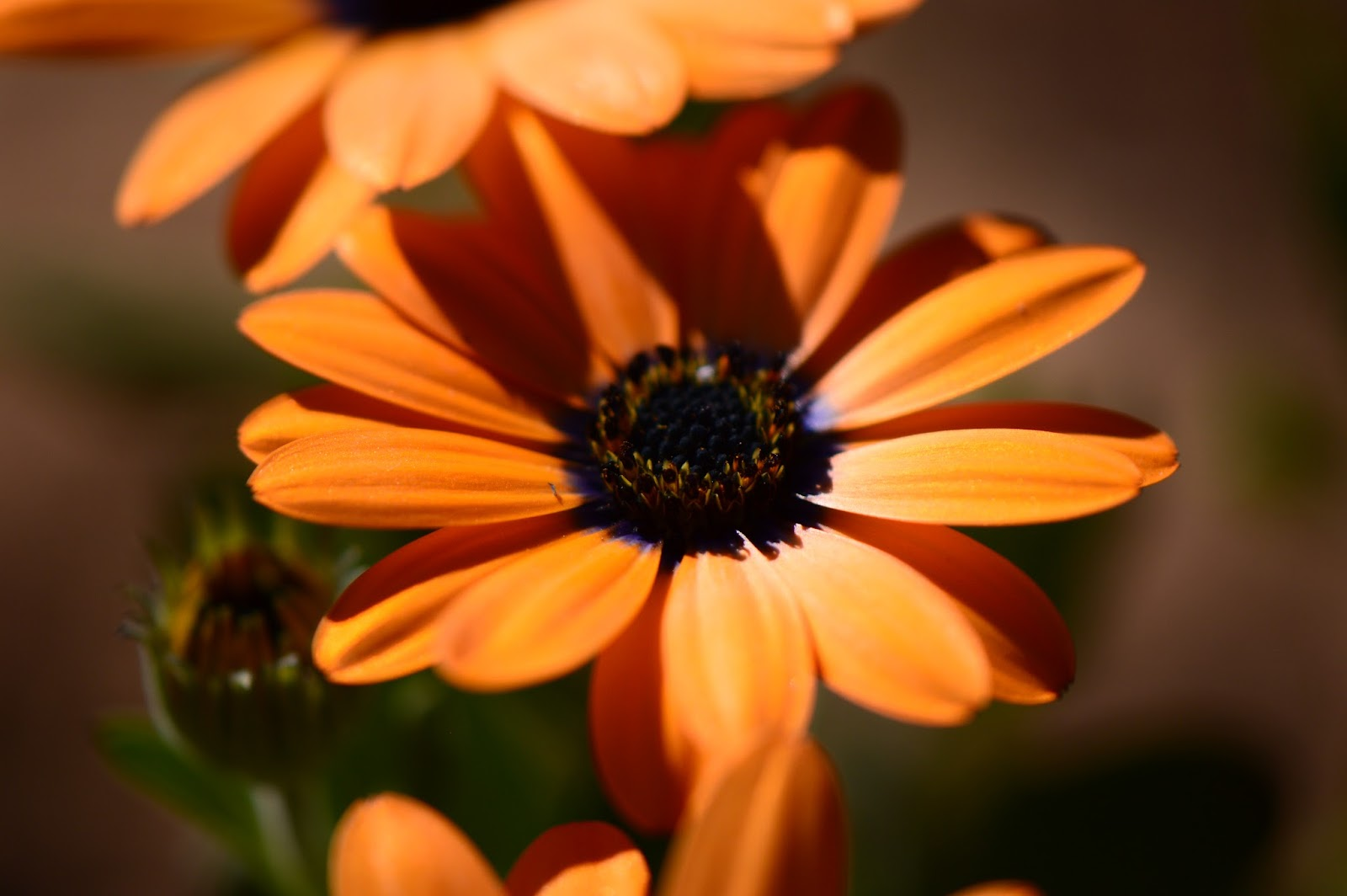 "Osteospermum ""Mimosa Sunset"", amy myers photography"