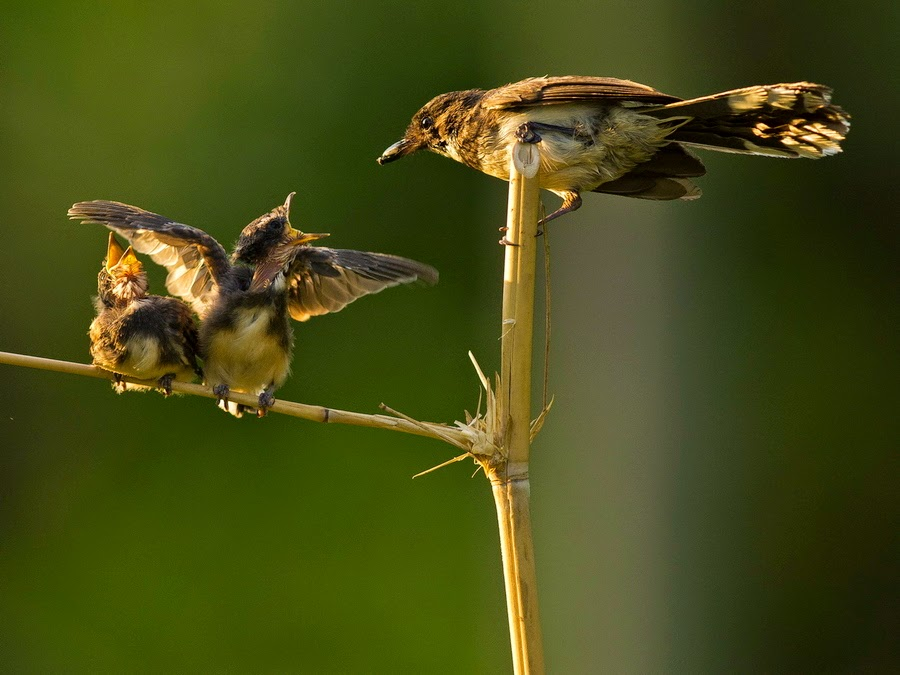 Foto Burung Srikatan Terbaik