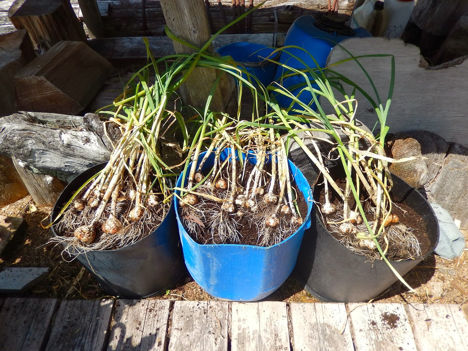 powell river books blog preserving growing garlic in containers. Black Bedroom Furniture Sets. Home Design Ideas