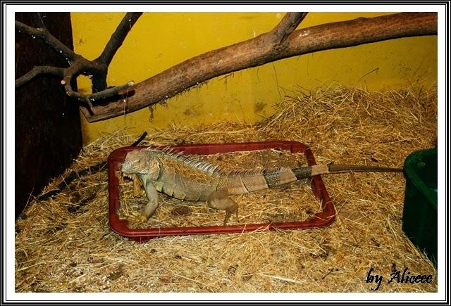 zoo-Nyiregyhaza-casa-tropicala-iguane