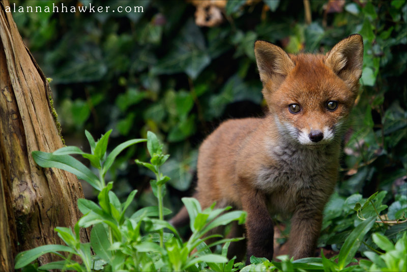 Baby Fox Cubs For Sale Fox cub 15 by alannahilyCute Fox Cubs