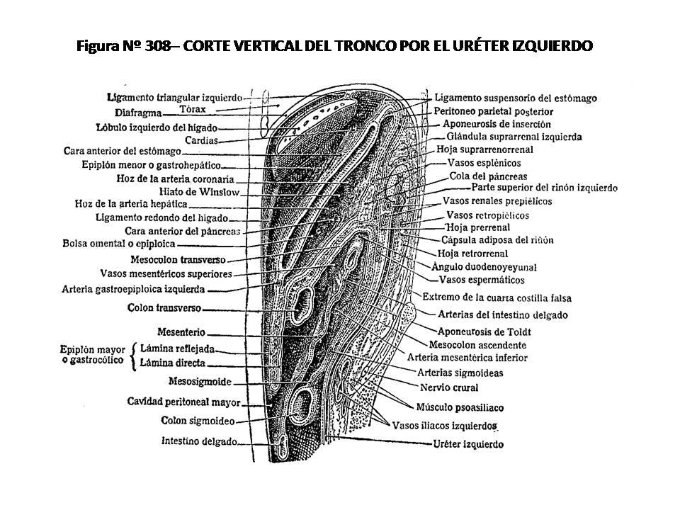 ATLAS DE ANATOMÍA HUMANA: 308. CORTE VERTICAL DEL TRONCO POR EL ...