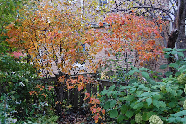 Autumn Brilliance Serviceberry5