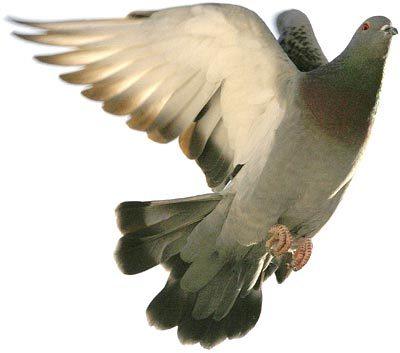 El obsequio de las palomas