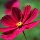 Crveni cvijetić, proljeće slike besplatne pozadine za mobitele download
