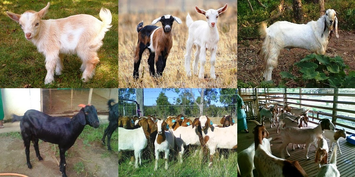 How to Start Goat Farming in Bangladesh