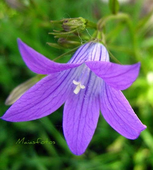 Spreading bellflower-Campanula patula macro