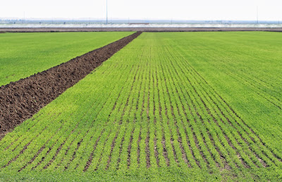 Alfalfa Field in the Imperial Valley