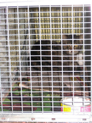 caged feral cat for spay or neuter