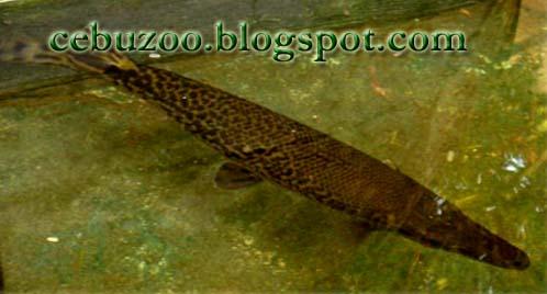 Cebu Zoo Gator Gar