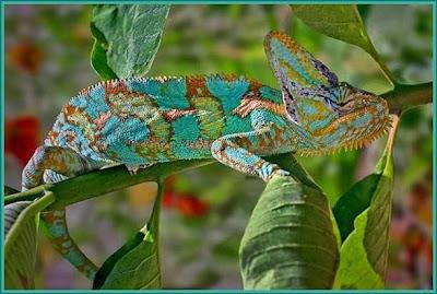 fabulous chameleon