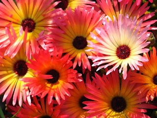 Livingstone Daisies Photo