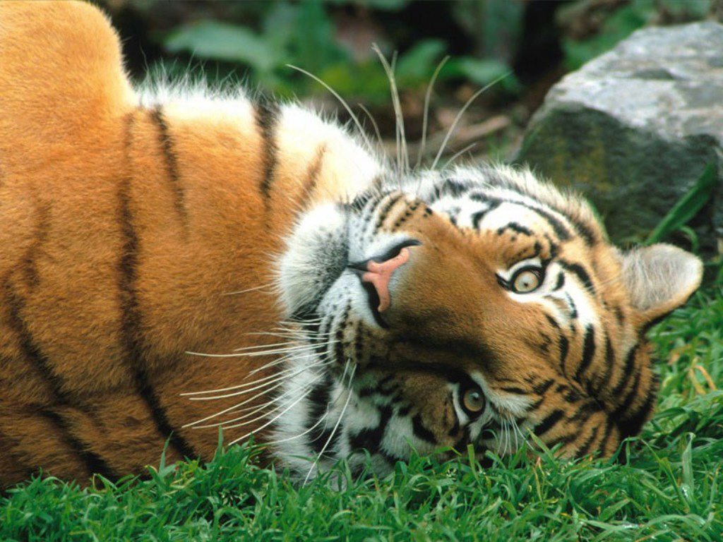 Siberian Tiger | The Life of Animals