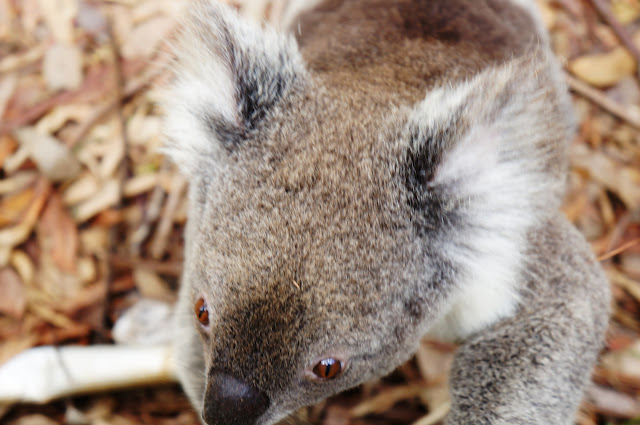 Close up photo of a Koala.