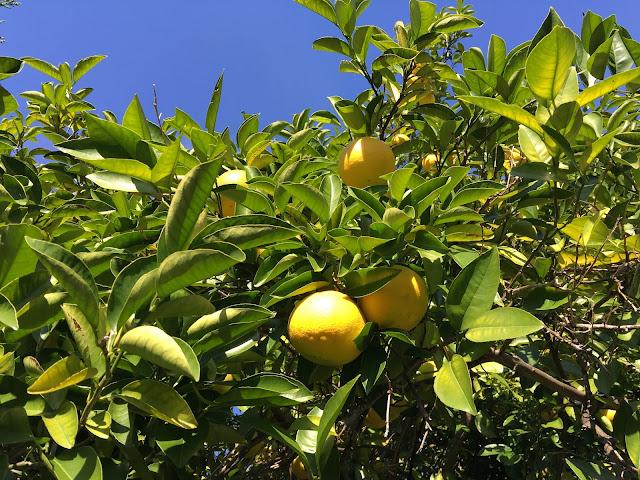 japanese yuzu garden citrus