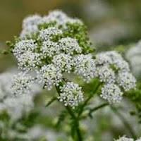 poison+hemlock+bunga+mematikan