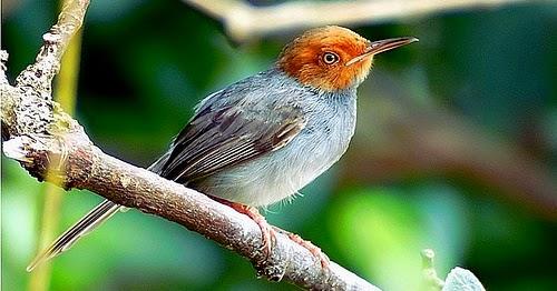 Kumpulan Foto Burung Bangcit Jantan FOTO BURUNG KICAU