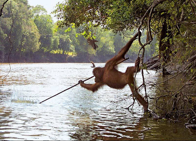 AN ORANGUTAN LEARNED HOW TO SPEAR FISH BY WATCHING HUMANS DO IT!