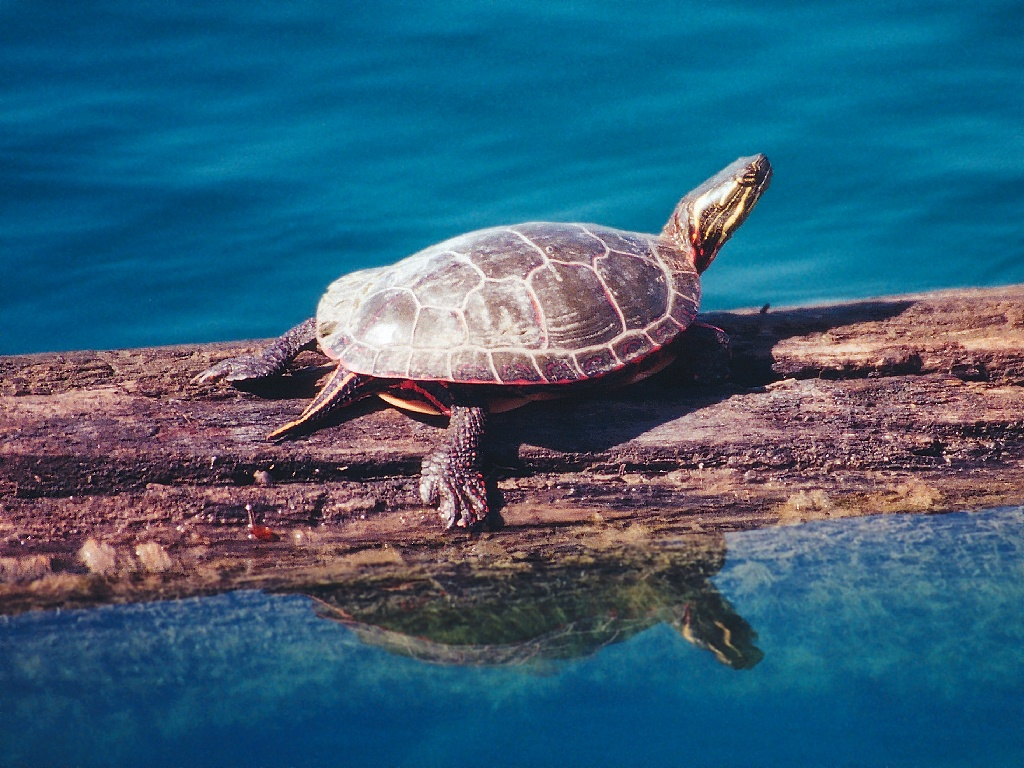 Wallpaper Db Turtle Wallpapers