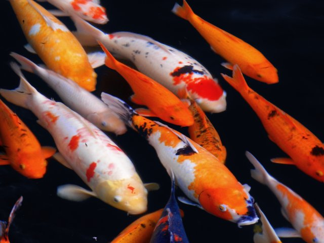 Coloration and patterns of a koi fish for Can you eat koi fish