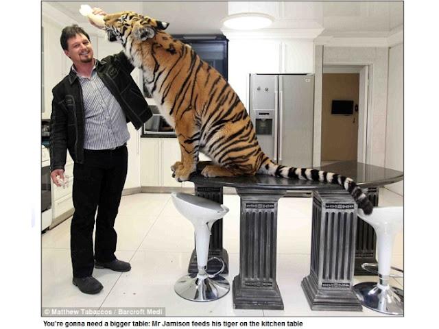Casal cria tigre de bengala de 171 quilos como bicho de estimação